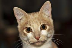 Portrait de chat de Ginger Hunter avec la patte étirée sur le fond noir Photographie stock