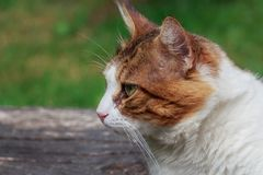 Portrait de chat mignon orange et blanc photographie stock libre de droits
