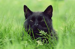 Portrait de chat noir Image stock