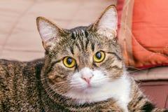Portrait de chat rayé futé Images libres de droits