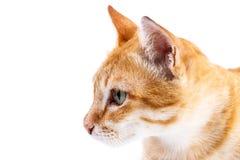 Portrait de chat rouge Photographie stock libre de droits