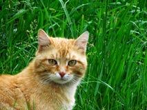 Portrait de chat roux menaçant dans l'herbe images stock
