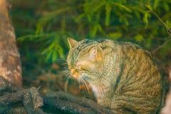 Portrait de chat sauvage européen Photos stock