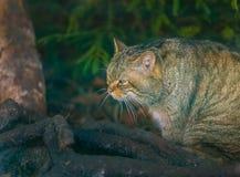 Portrait de chat sauvage européen Photo libre de droits