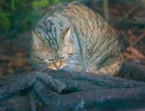 Portrait de chat sauvage européen Images stock