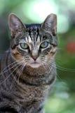 Portrait de chat tigré Images libres de droits