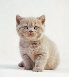 Portrait de chaton britannique Image libre de droits