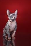 Portrait de chaton de Sphynx photo libre de droits
