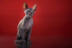 Portrait de chaton de Sphynx photographie stock libre de droits