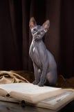 Portrait de chaton de Sphynx photos stock