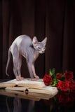 Portrait de chaton de Sphynx photo stock