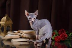 Portrait de chaton de Sphynx images libres de droits