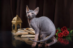 Portrait de chaton de Sphynx photographie stock