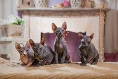 Portrait de chaton de Sphynx images stock