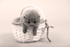 Portrait de chaton restant dans un panier Photographie stock libre de droits