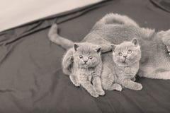 Portrait de chatons des Anglais Shorthair, d'isolement Photo libre de droits