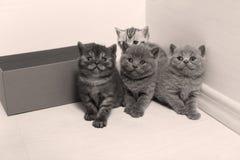 Portrait de chatons des Anglais Shorthair plein Photos libres de droits
