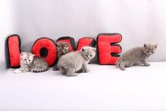 Portrait de chatons des Anglais Shorthair plein Images stock