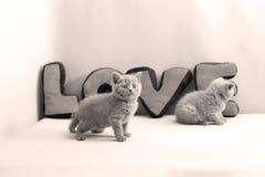 Portrait de chatons des Anglais Shorthair plein Photos stock