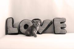 Portrait de chatons des Anglais Shorthair plein Image stock