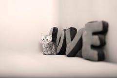 Portrait de chatons des Anglais Shorthair plein Photographie stock libre de droits