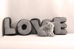 Portrait de chatons des Anglais Shorthair plein Image libre de droits