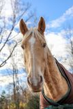 Portrait de cheval Image stock