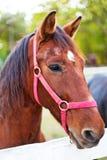 Portrait de cheval Images libres de droits
