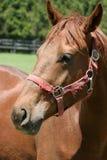 Portrait de cheval Photo libre de droits
