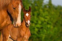 Portrait de cheval avec le poulain Photographie stock
