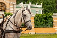 Portrait de cheval blanc Image stock