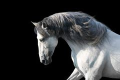 Portrait de cheval blanc sur le noir image stock