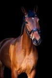 Portrait de cheval brun sur le fond noir Photo stock
