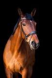 Portrait de cheval brun sur le fond noir Photographie stock libre de droits