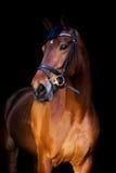 Portrait de cheval brun sur le fond noir Images stock