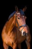 Portrait de cheval brun sur le fond noir Photographie stock