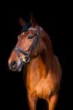 Portrait de cheval brun sur le fond noir Photo libre de droits