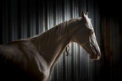 Portrait de cheval d'Akhal-Teke sur le noir Photographie stock