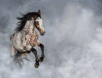 Portrait de cheval d'Appaloosa dans la fumée légère photo stock