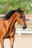 Portrait de cheval de baie images stock