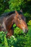 Portrait de cheval de baie photo libre de droits