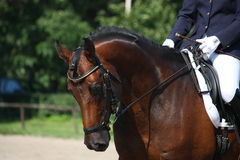 Portrait de cheval de baie pendant l'exposition de dressage Image libre de droits