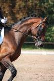 Portrait de cheval de baie pendant l'exposition de dressage Photos stock