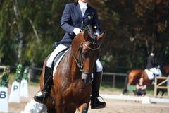 Portrait de cheval de baie pendant l'exposition de dressage Photographie stock libre de droits