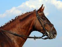 Portrait de cheval de Hanoverian à l'arrière-plan de ciel Photo stock