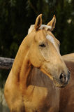 Portrait de cheval de palomino Images stock