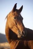 Portrait de cheval de pur sang quand le soleil se couche images libres de droits