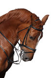 Portrait de cheval de sport de Brown d'isolement sur le blanc Image stock