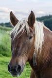 Portrait de cheval de trait Photo libre de droits