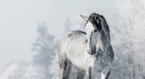 Portrait de cheval gris de pur sang espagnol dans la forêt d'hiver Photographie stock